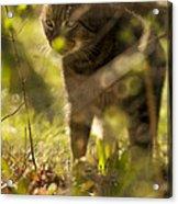 Wonky Eyed Tiger Acrylic Print