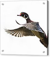 Wood Duck Acrylic Print by Mircea Costina Photography