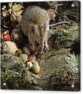 Wood Mouse Feeding Acrylic Print