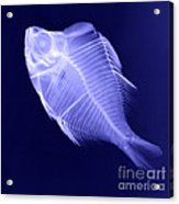 X-ray Of A Humphead Glassfish Acrylic Print