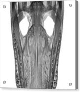 X-ray Of American Alligator Acrylic Print