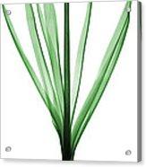 X-ray Of Hyacinth Acrylic Print