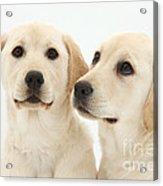 Yellow Labrador Retriever Pups Acrylic Print