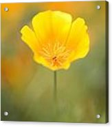 Yellow Poppy Flower, Mount Hood Acrylic Print