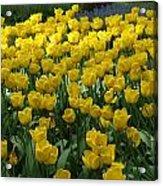 Yellow Tulips 2 Acrylic Print
