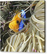 Yellowtail Anemonefish In Its Anemone Acrylic Print by Alexis Rosenfeld