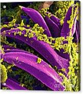 Yersinia Pestis Bacteria, Sem Acrylic Print