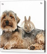Yorkshire Terrier Dog And Baby Rabbit Acrylic Print