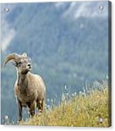 Young Bighorn Sheep, Windy Point Acrylic Print