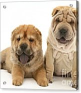Young Dogs Acrylic Print