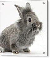 Young Silver Lionhead Rabbit Acrylic Print