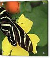 Zebra Longwing Acrylic Print