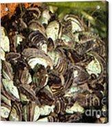 Zebra Mussels Dreissena Polymorpha Acrylic Print