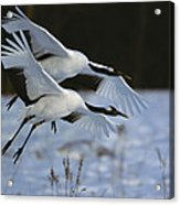 A Pair Of Japanese Or Red-crowned Acrylic Print