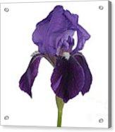 Blue Iris Blooming Acrylic Print