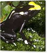 Dyeing Poison Frog Acrylic Print