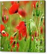 Field Of Poppies. Acrylic Print by Bernard Jaubert