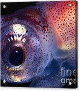 Firefly Squid Acrylic Print