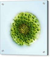 Green Alga, Light Micrograph Acrylic Print by Gerd Guenther