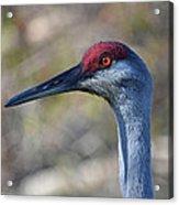 10- Sandhill Crane Acrylic Print