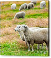 Sheeps Acrylic Print by MotHaiBaPhoto Prints