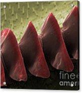 Cricket Sound Comb, Sem Acrylic Print