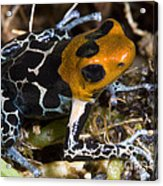 Crowned Poison Frog Acrylic Print