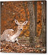 1111-7638 Fawn In Fall Acrylic Print