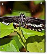Colorful Butterfly Acrylic Print