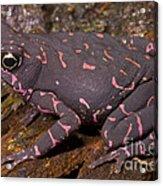 Harlequin Frog Acrylic Print