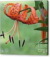 Lily Flowers Acrylic Print