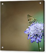 1205-8785 Skipper On A Butterfly Blue Pincushion Flower Acrylic Print by Randy Forrester