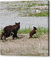 Black Bear Family Acrylic Print