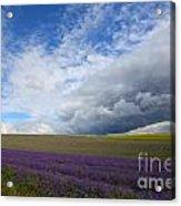 Lavenders Acrylic Print