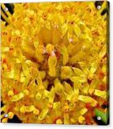 Pincushion Blossom Acrylic Print
