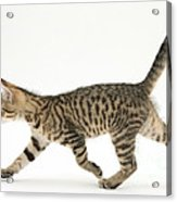 Tabby Kitten Acrylic Print