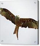 Red Kite In Flight Acrylic Print