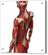 Male Muscles, Artwork Acrylic Print