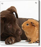 Puppy And Guinea Pig Acrylic Print