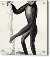 1833 Jardine Hylobates Hoolock Gibbon Acrylic Print