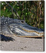19- Alligator Acrylic Print