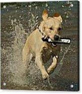 Yellow Labrador Acrylic Print by Steven Lapkin