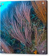 A Colony Of Red Whip Fan Corals Acrylic Print