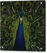 A Male Peacock Displays His Beautiful Acrylic Print