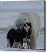 A Polar Bear Ursus Maritimus Acrylic Print