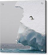 Adelie Penguin Pygoscelis Adeliae Acrylic Print
