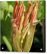 African Blood Lily Or Fireball Lily Acrylic Print