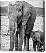 African Elephants In The Masai Mara Acrylic Print