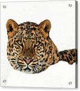 Amur Leopard In Snow Acrylic Print