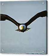 An American Bald Eagle In Flight Acrylic Print